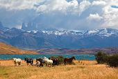stock photo of herd  - Chilean Andes - JPG