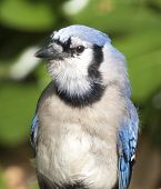pic of blue jay  - Close - JPG