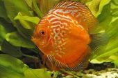 foto of diskus  - Discus fish in tank - JPG