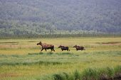 picture of marshes  - Mother moose and babies wandering through a marsh - JPG