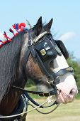 stock photo of shire horse  - Brown and white shire horse with blinkers - JPG