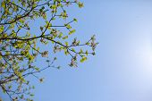 pic of dogwood  - White flowering dogwood tree  - JPG