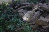 picture of coatimundi  - Portrait of a coati  - JPG