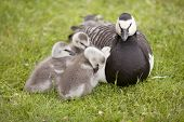 stock photo of mother goose  - three young geese and mother sitting in the grass - JPG