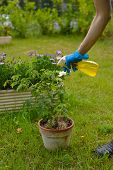 foto of parasite  - Woman spraying pesticide on plants injured by parasites - JPG