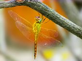 pic of dragonflies  - Yellow Dragonfly sitting from below a twig in the falling sun - JPG