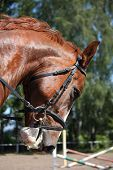 pic of bridle  - Portrait of chestnut sport horse with bridle - JPG