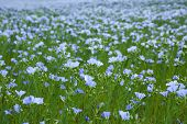 stock photo of flax seed  - blue flax field closeup at spring shallow depth of field - JPG