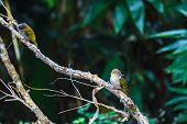 image of bulbul  - Bird watching in forest Mountain Bulbul Ixos mcclellandii in nature - JPG