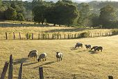 stock photo of gaucho  - Sheep grazing in the fields of southern Chile  - JPG