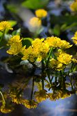 stock photo of cowslip  - View of MARSH MARIGOLD or COWSLIP - JPG