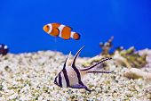 foto of clown fish  - Photo of clown fish and dascyllus in aquarium water - JPG