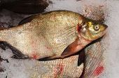 image of fresh water fish  - a fish that live in fresh water and the name is bream - JPG
