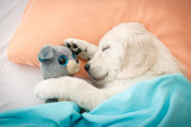 stock photo of labrador  - labrador retriever puppy sleeping with toy on the bed - JPG