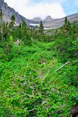 stock photo of conifers  - mountains and high alpine conifer forest in glacier national park in summer - JPG