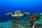 foto of hawksbill turtle  - Hawksbill Sea Turtle underwater on ocean coral reef - JPG