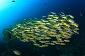 stock photo of school fish  - School Bigeye Snapper fish - JPG