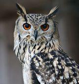 stock photo of rear-end  - owl portrait - JPG