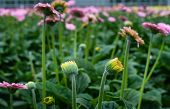 image of yellow buds  - Many yellow budding and pink flowering gerbera plants in a Dutch nursery.