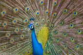 picture of indian peafowl  - Male Indian Peacock displays its iridescent blue and green plumage - JPG