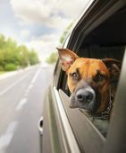 stock photo of bull-riding  -  a boxer pit bull mix dog riding in a car with her head out of the window - JPG