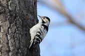 stock photo of woodpecker  - Female Lesser - JPG