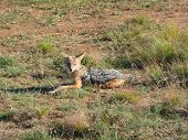 picture of jackal  - a jackal on grassy ground in South africa