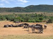 pic of grassland  - grassland scenery including some zebras and antelopes in South Africa - JPG