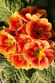 pic of primrose  - Primroses in a vase in a public garden of a big city  - JPG