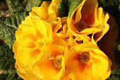 foto of primrose  - Primroses in a vase in a public garden of a big city  - JPG