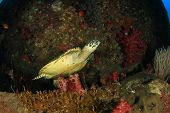 image of hawksbill turtle  - Hawksbill Sea Turtle on coral reef - JPG