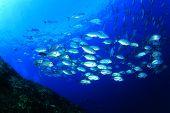 stock photo of bigeye  - Bigeye Trevallies fish school - JPG