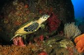 foto of hawksbill turtle  - Hawksbill Sea Turtle on coral reef - JPG