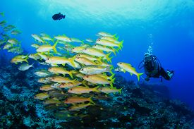 image of school fish  - Scuba diver and school of fish  - JPG