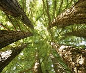 picture of redwood forest  - giant redwoods from northern california perspective looking up in a grove of trees - JPG