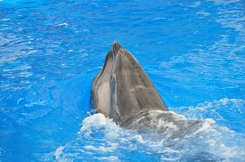 picture of bottlenose dolphin  - two bottlenose dolphins in blue pool water - JPG
