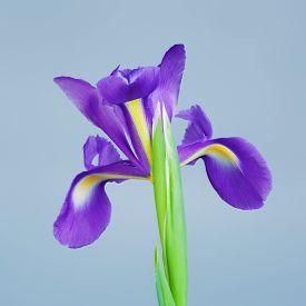 image of purple iris  - beautiful purple flower iris - JPG
