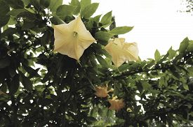 pic of angel-trumpet  - Yellow angels trumpet flower  - JPG