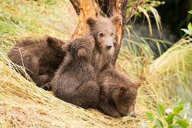 image of bear-cub  - A brown bear cub nuzzles another beside Brooks River Alaska - JPG