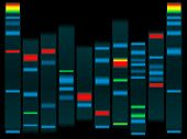 foto of electrophoresis  - Illustration of a human dna in black with highlighted dna strands ideal for schools info - JPG