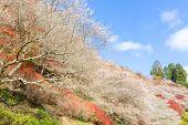 Nagoya, Obara. Autumn Landscape with sakura blossom. Shikizakura kind of sakura blooms once in sprin poster