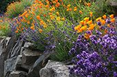 foto of lavender plant  - purple lavender and orange poppy flowers in rock garden