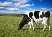 pic of moo-cow  - two british fresian cows in a field - JPG