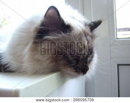poster of Fluffy Cat. Cat Breed Neva-masquerade. Fluffy, White Cat.