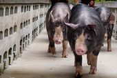 Berkshire Pig Or Kurobuta Pig - Swine Farming Business In Relax Time. Pig Farming Is The Raising And poster