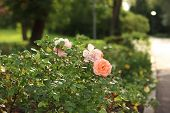 Beautiful Roses Bush In Garden. Pink Pale Roses Bush. A Bush Of Pink Roses In Sunset. Background Of  poster