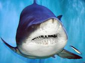 The Sand Tiger Shark, Carcharias Taurus, Grey Nurse Shark, Spotted Ragged-tooth Shark, or Blue-nurse poster