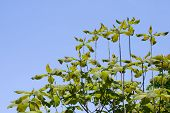 stock photo of japanese magnolia  - Fresh green Japanese whitebark magnolia leaves and blue sky - JPG