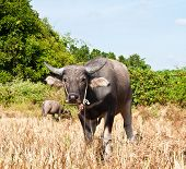 stock photo of female buffalo  - Buffalo in sunny day in Rayong province of Thailand - JPG