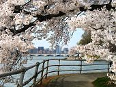 Cherry Blossom Festival In Washington - Potomac River